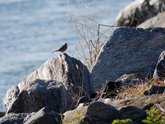 Ed Gaillard: recent &emdash; Savannah Sparrow, Randall's Island