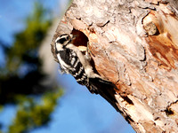 Downy Woodpecker digging a roost hole