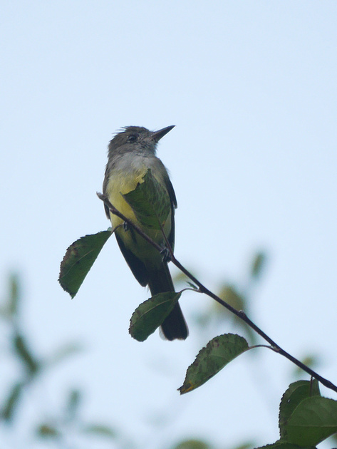 Ed Gaillard: birds &emdash; Great Crested Flycatcher