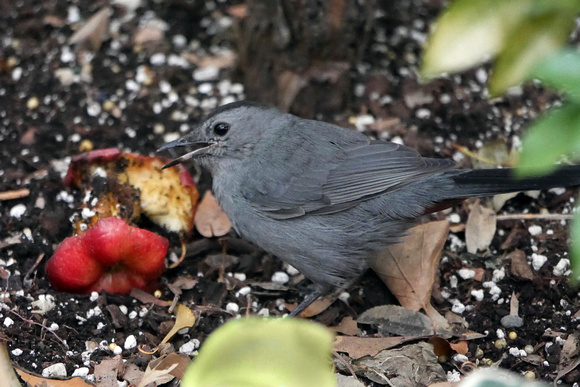 Ed Gaillard: birds &emdash; Gray Catbird, Bryant Park