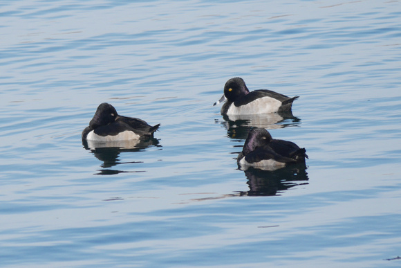 Ed Gaillard: birds &emdash; Three--count 'em!-three Ring-Necked Ducks, Central Park Reservoir