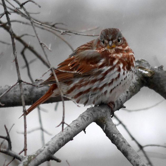 Ed Gaillard: birds &emdash; Fox Sparrow, fluffed out on a snowy day