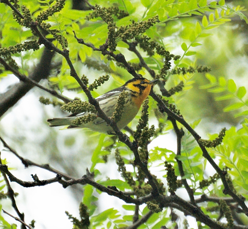 Ed Gaillard: recent &emdash; Blackburnian Warbler, Central Park