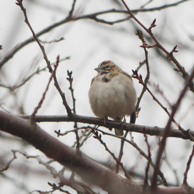 Ed Gaillard: birds &emdash; Lark Sparrow, Flushing Meadow Park