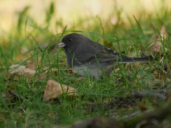 Ed Gaillard: birds &emdash; Dark-Eyed Junco, Central Park