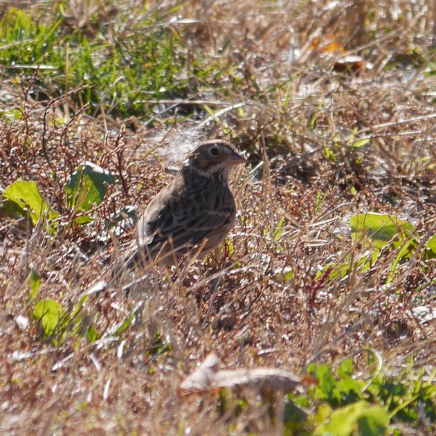 Ed Gaillard: birds &emdash; Vesper Sparrow, Inwood Hill Park