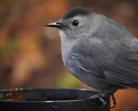 Ed Gaillard: birds &emdash; Gray Catbird, International Paper Plaza
