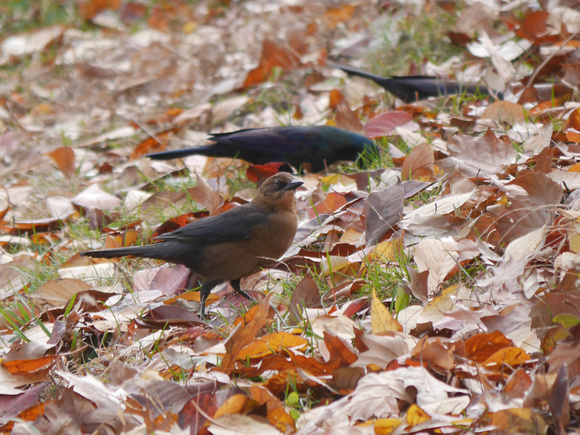 Ed Gaillard: birds &emdash; Boat-Tailed Grackle, Central Park