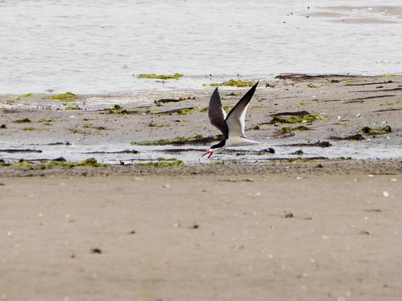 Ed Gaillard: birds &emdash; Black Skimmer, Jamaica Bay NWR