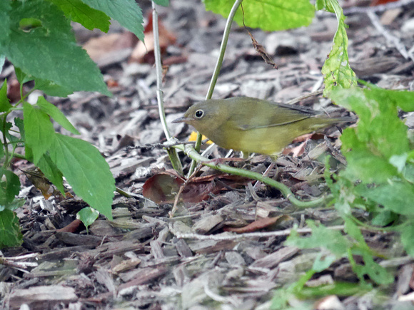 Ed Gaillard: birds &emdash; Connecticut Warbler, Central Park