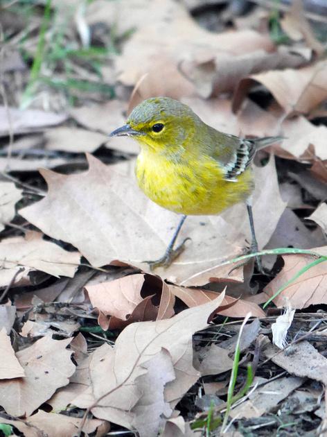 Ed Gaillard: birds &emdash; Pine Warbler, Central Park