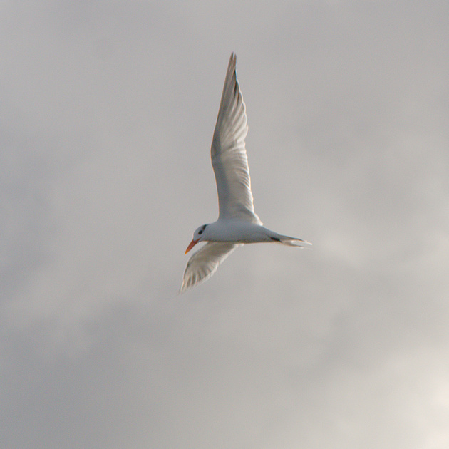 Ed Gaillard: birds &emdash; Royal Tern, Boynton Beach FL