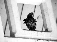 Starling, Belvedere Castle