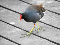 Common Gallinule, New Providence, Bahamas
