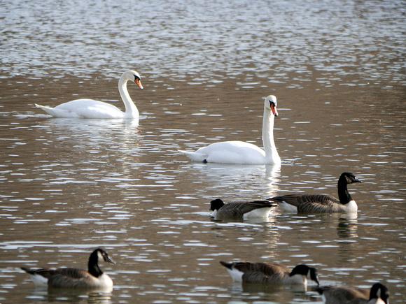 Ed Gaillard: birds &emdash; Mute Swans,  Van Cortlandt Park