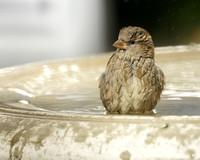 House Sparrow bathing, Bryant Park