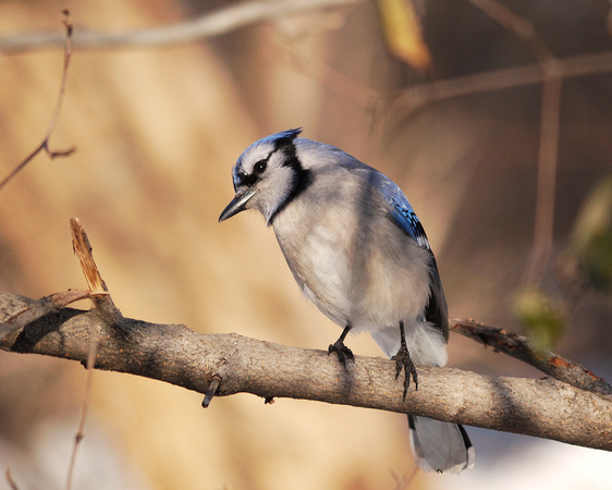 Ed Gaillard: recent &emdash; Bluejay, Winter, Central Park