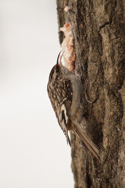 Ed Gaillard: recent &emdash; Tasty snack for a Brown Creeper