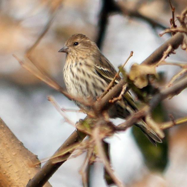Ed Gaillard: birds &emdash; Pine Siskin, Central Park