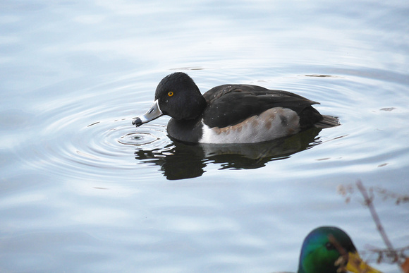 Ed Gaillard: recent &emdash; Ring-Necked Duck, Central Park Reservoir