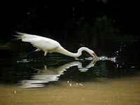 Great Egret fishing, The Pond, Central Park