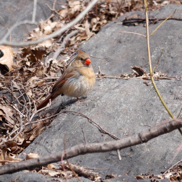 Ed Gaillard: birds &emdash; Leucistic male Cardinal, Tanner's Spring, Central Park