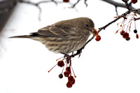 House Finch, Winter, Central Park